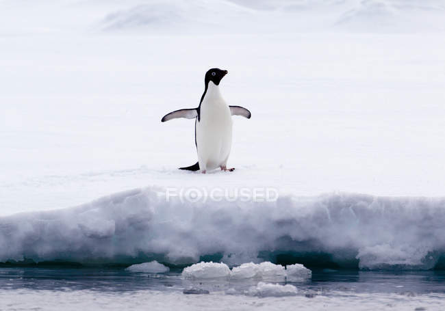Adelie Penguin on ice floe in the southern ocean, 180 miles north of East Antarctica, Antarctica — Stock Photo