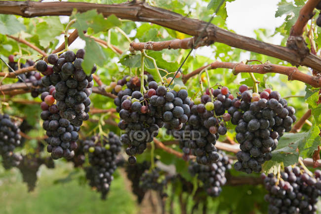 Grapes on vine in vineyard — Stock Photo