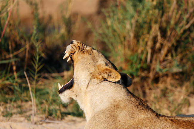 Lioness yawning, Sabi Sand Game Reserve, South Africa — Stock Photo