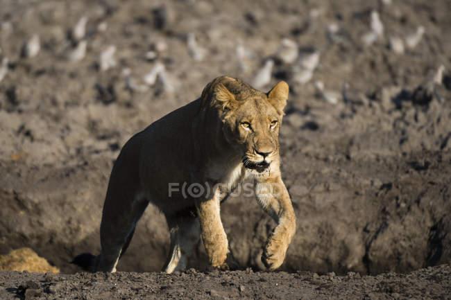 View of running lioness on blurred background, Botswana — Stock Photo