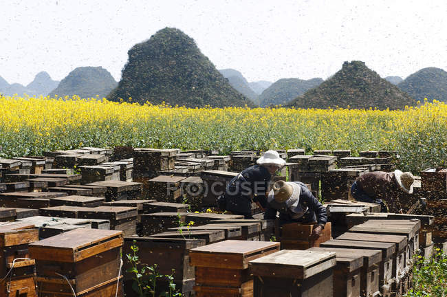 Swarm of bees and beekeepers working next to fields with yellow blooming oil seed rape plants, Luoping,Yunnan, China — Stock Photo