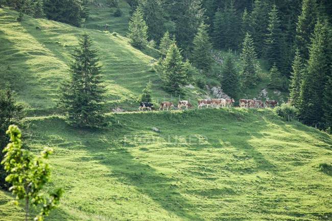 Cows walking along hillside — Stock Photo