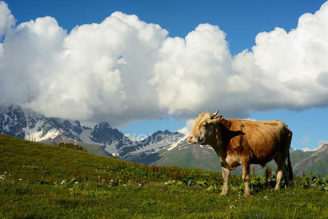 Коров, пасущихся на склоне холма, деревни Мазери, Сванети, — стоковое фото