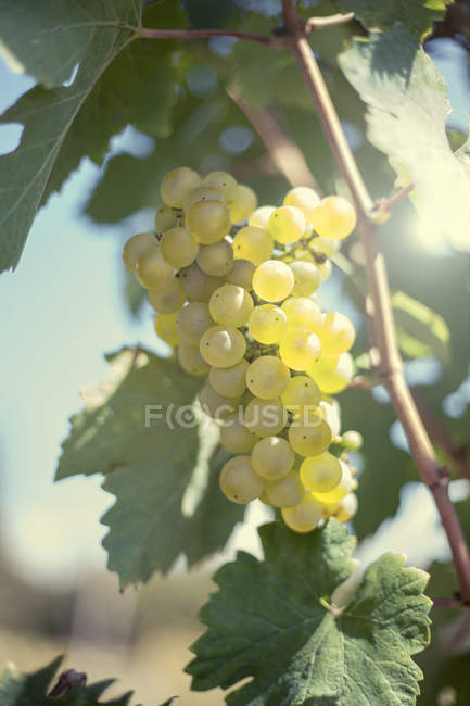 Close up of Grapes growing on vine — Stock Photo