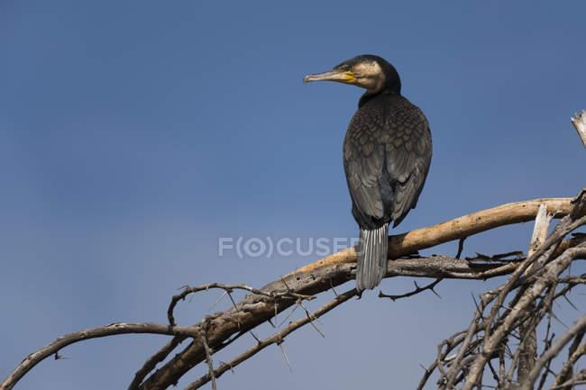 Cormorano che si appollaia sul ramo, Lago Naivasha, Kenya, Africa — Foto stock