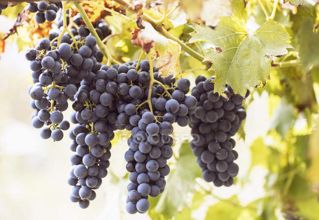 Close up of grape bunches on vine, Premosello, Verbania, Piemonte, Italy — Stock Photo