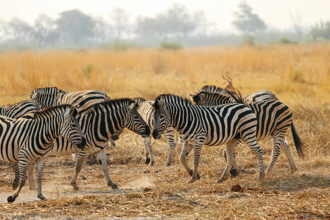Zebras in yellow field — Stock Photo