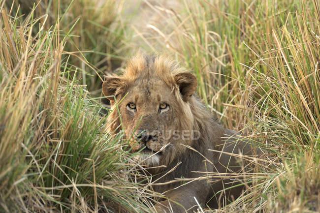 Leone maschio che si nasconde nell'erba adrenalina, Parco Nazionale delle Piscine di Mana, Zimbabwe, Africa — Foto stock