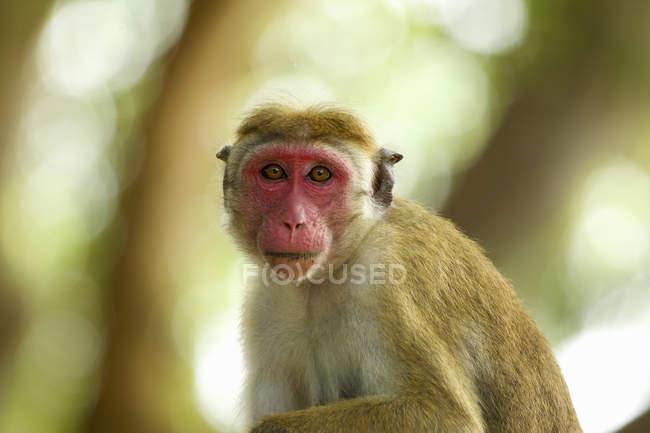 Ritratto di scimmia macaco vigile, Parco nazionale di Yala, Sri Lanka, Asia — Foto stock