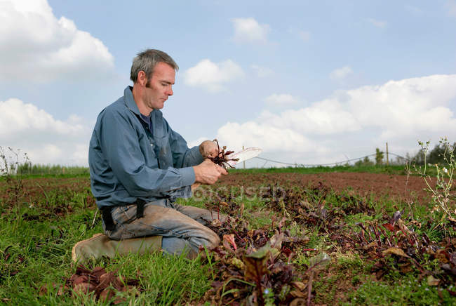 Farm worker harvesting beetroots by hand — Stock Photo