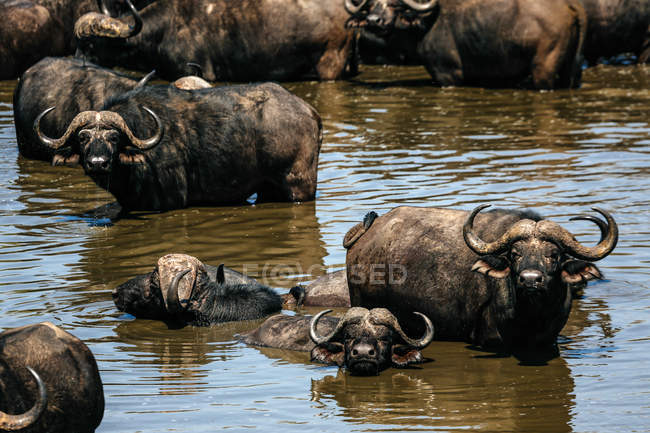 Herd of cape buffalo in watering hole water — Stock Photo