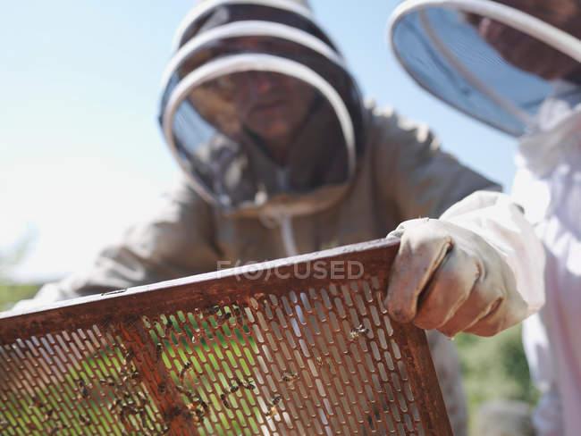 Beekeeper lifts queen bee excluder mesh — Stock Photo