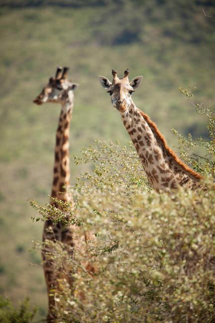 Giraffe nella riserva di Selenkey — Foto stock
