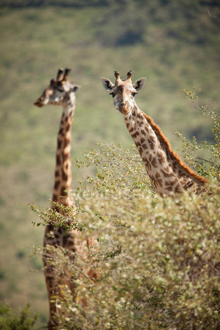 Giraffes in Selenkey Reserve — Stock Photo