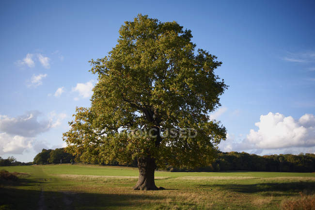 Lone tree on green field with blue cloudy sky — Stock Photo