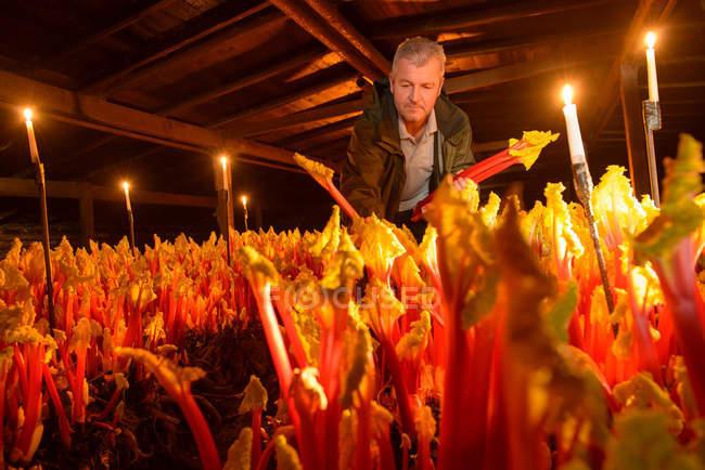 Farmer picking rhubarb in candlelit barn — Stock Photo
