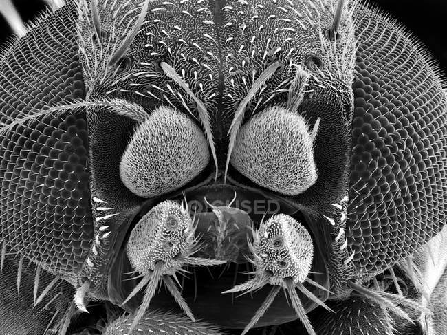Scanning electron micrograph of fruit fly — Stock Photo