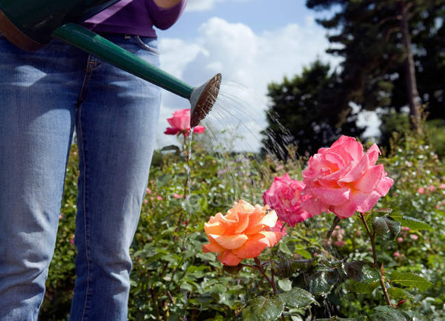 Cropped image of gardener watering roses with watering can — Stock Photo