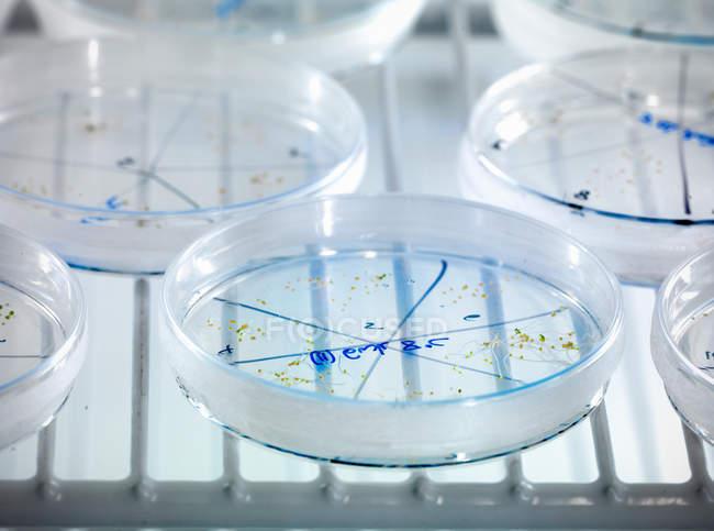 Nahaufnahme der Sämling Kulturen in Petrischale im biolab — Stockfoto