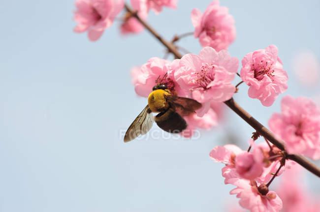 Bee feeding on blossom — Stock Photo