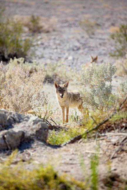 Vue du Coyote debout dans la vallée de la Mort — Photo de stock