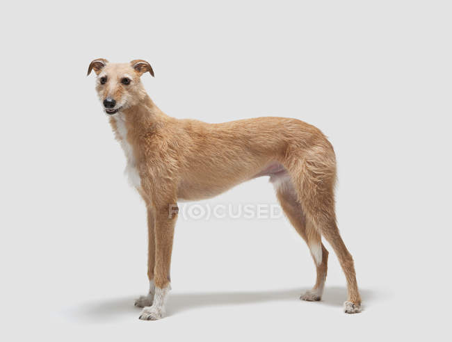 Lurcher dog standing and looking away with open mouth — Stock Photo