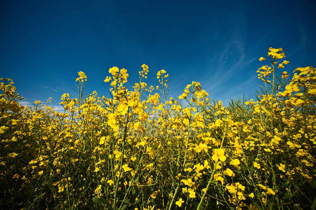 Field of rapeseed flowers under vivid blue sky — Stock Photo