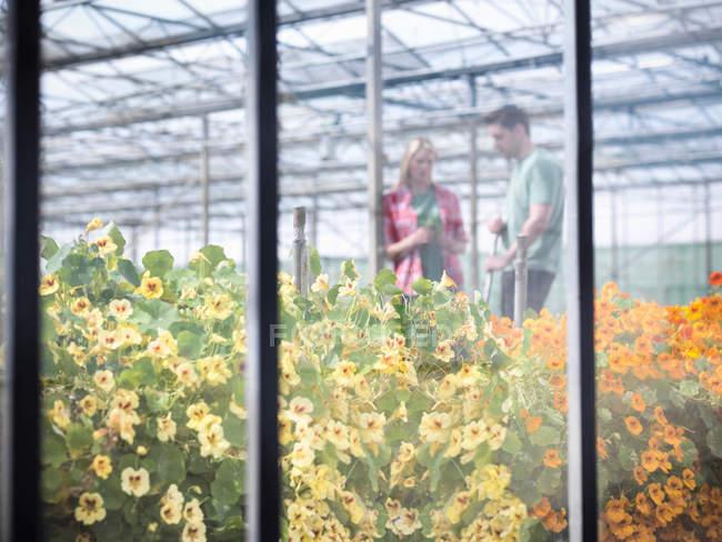 Trabajadores agrícolas en abundante con flores comestibles flor de invernadero - foto de stock
