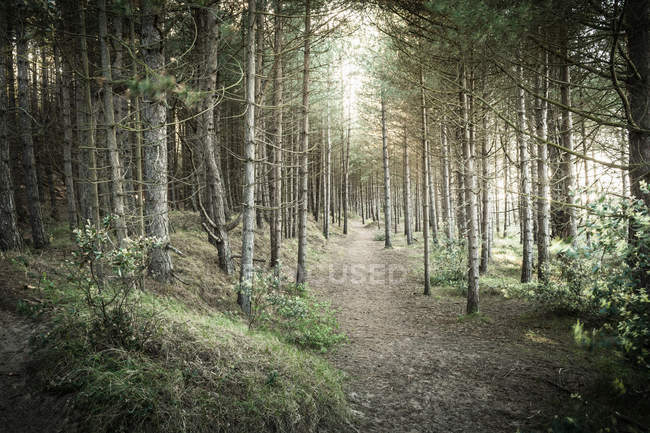 Dirt path between tall pine trees in forest — Stock Photo