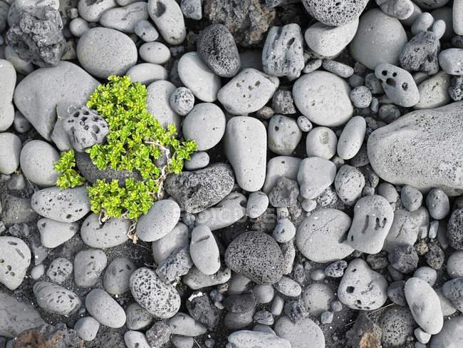 Vista superior da planta crescendo entre rochas — Fotografia de Stock
