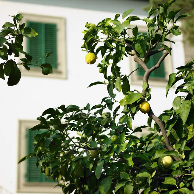 Árbol de fruto al aire libre, limones crecen en ramas con hojas verdes - foto de stock