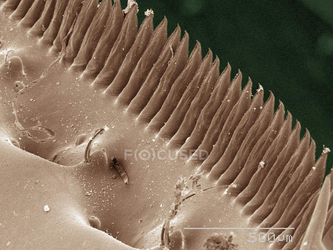 Coloured scanning electron micrograph of mantid shrimp spines — Stock Photo