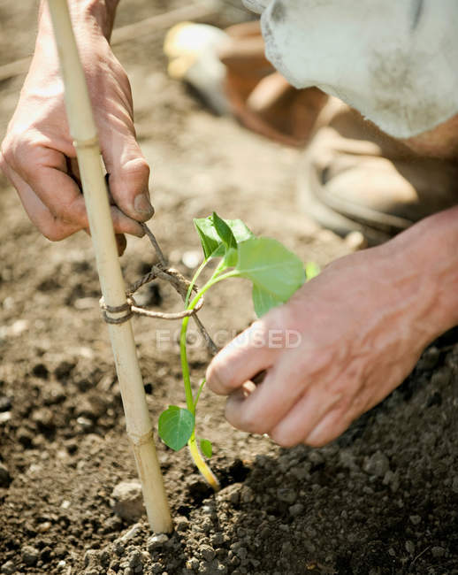 Hands tying plant to wooden pole, close-up partial view, outdoors — Stock Photo