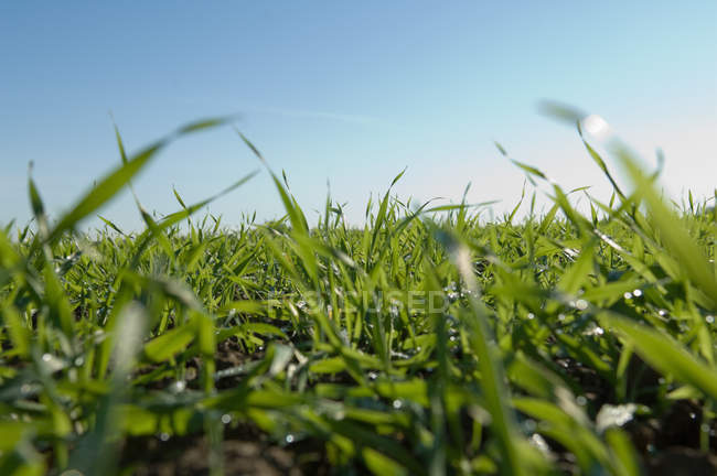 Close-up view of fresh tall grass in field and clear blue sky — Stock Photo