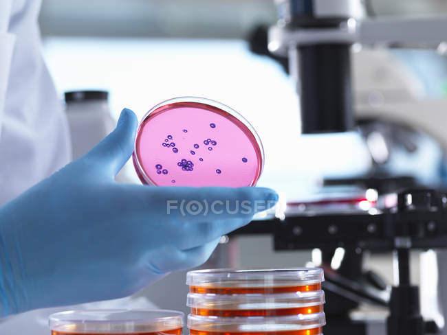 Scientist using inverted light microscope to view culture growth in petri dishes — Stock Photo