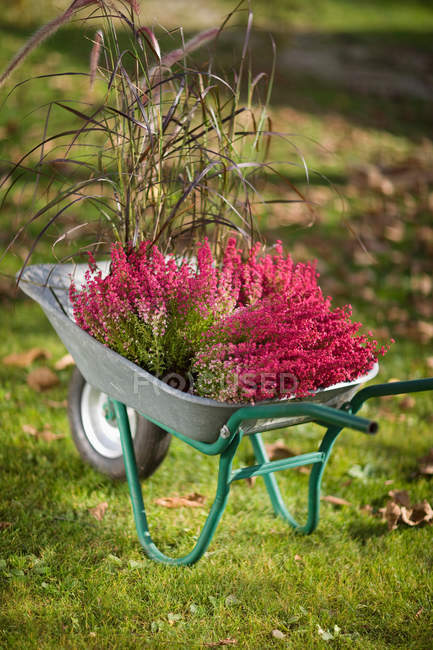 Beautiful blooming flowers in wheelbarrow, autumnal gardening concept — Stock Photo