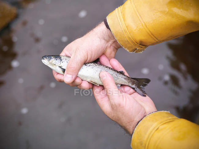 Man holding hand reared, sustainably fed, fresh salmon from Scottish salmon farm — Stock Photo