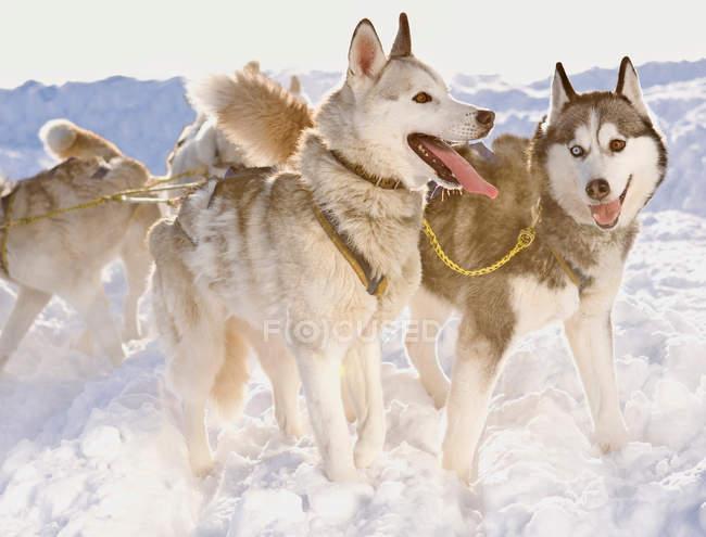 Милые хаски, зимой стоящие в собачьих упряжках на снегу — стоковое фото