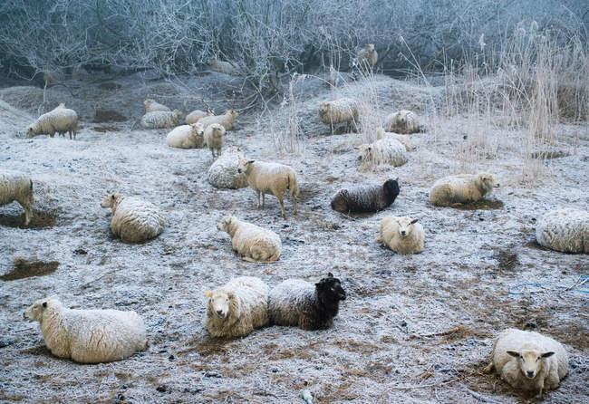 Ovejas pastando en pastos nevados - foto de stock