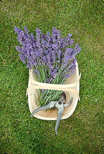 Basket of purple flowers with shears on grass — Stock Photo
