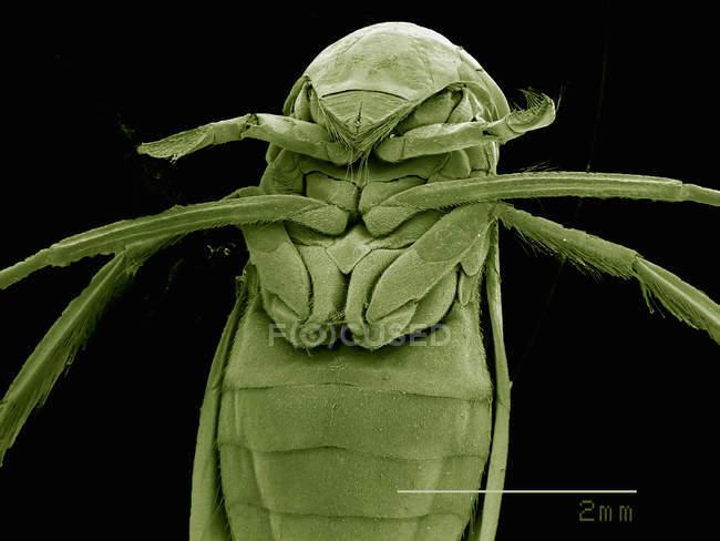 Micrographie électronique à balayage de la tête du nageur femelle — Photo de stock