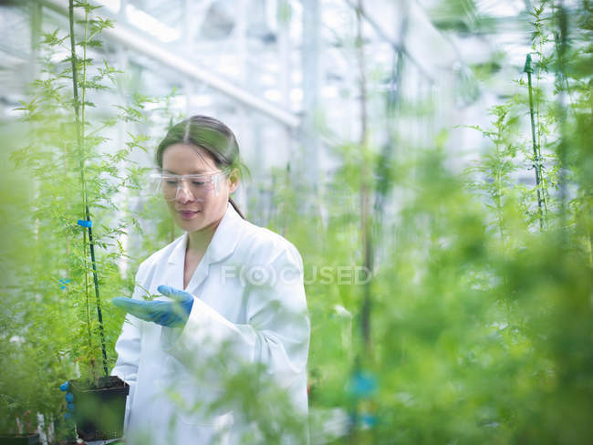 Scientist growing Sweet Wormwood (Artemisia annua) in nursery of biolab for structural analysis of DNA, protein extraction and genetic modification — Stock Photo