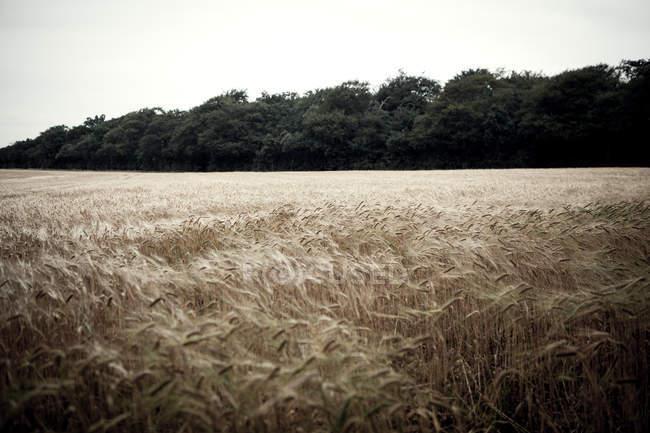 Живописный вид на поле Wheat в Бризе — стоковое фото