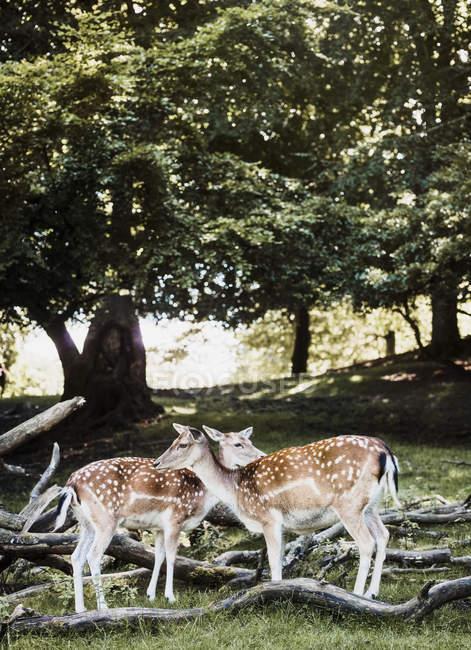 Due cervi nel prato, Aarhus, Danimarca — Foto stock