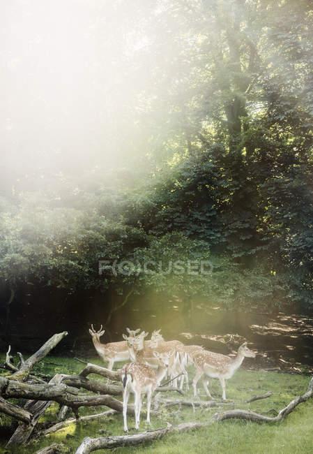 Група оленів на зеленої галявини з колод, Орхус, Данія — стокове фото
