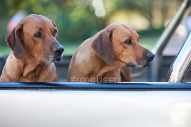 Две собаки сидят в грузовике — стоковое фото