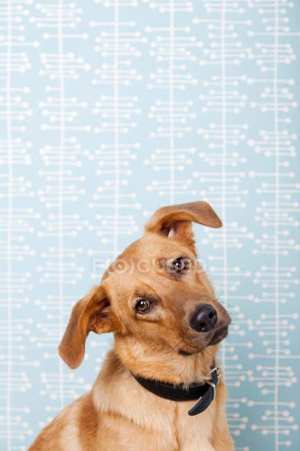 Собака з звів курок голову на синьому фоні — стокове фото