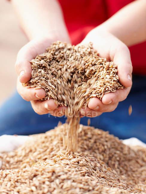Manciata versando coltivatore di semi di orzo — Foto stock