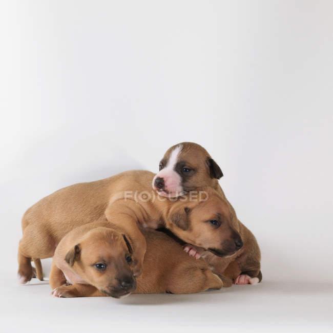 Tre cuccioli su sfondo bianco — Foto stock
