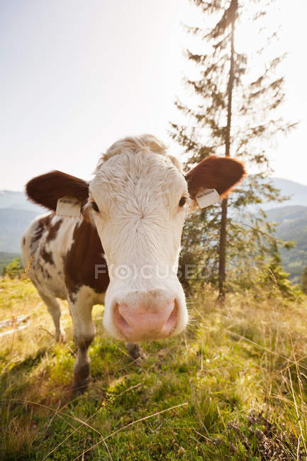 Cows nose in pasture — Stock Photo